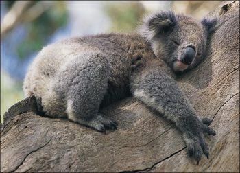koala-picture.jpeg
